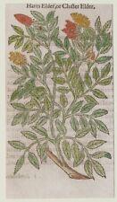 JOHN GERARD BOTANICA MATTHIOLI 1597 ELDER SAMBUCO SAMBUCUS