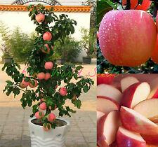 dwarf FUJI apple tree indoor or outdoor! sweet fruits SEEDS.