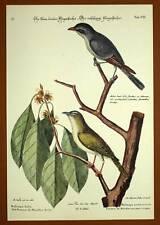 Gravure Ornithologie Oiseau LE GOBE MOUCHE