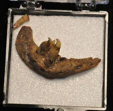 Fossil jaw and teeth, of an unknown species from Idaho