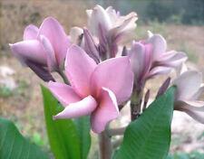Plumeria Seeds/Flowers/Purplejack/ Fresh 50 seeds