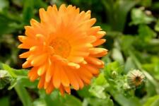 3320mg Fiesta Gitana Calendula Seeds ~ Bright Orange Herbal Ornamental Flower