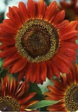 Flower - Sunflower - Red Sun - 25 Seeds - Economy