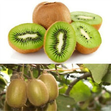 FD849 FRUIT KIWI Actinidia Vine Seeds Grow Delicious Healthy Fruit Seeds ~10PCs✿