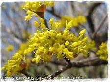 """Cornus officinalis 'Cornalina Cereza """"japonés 10 semillas"""