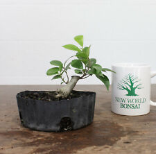 New World Bonsai Ebay Stores
