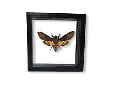 Acherontia atropos Totenkopfschwärmer schwarzer Rahmen 15x15 cm beidseitig Glas