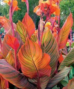 Canna Tropicana  Canna Lily Plant In 1 L Pot.