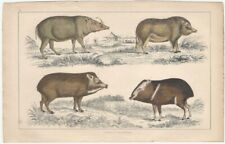 Wild Pigs / Boars - 19th Century English Small Mammal Print partly Hand Colored