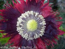 1 gram 1,000+ Purple-RED Frill Drama Queen Poppy Seeds Papaver somniferum India
