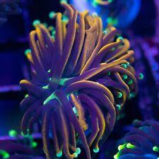 New listing Hellfire torch - Wysiwg Live Coral Frag- Top Tier Aquatics #6