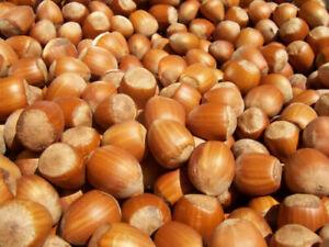 European Hazelnut - Coryolus avellana - Common Hazelnut - 10+ seeds - Semillas