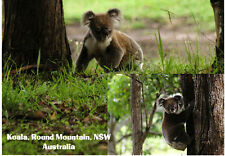 Koala Postcard x10