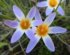 Romulea tabularis            15 seeds