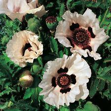 poppy, Rare Checkers, black n white checkered flower, Poppies, 20 Seeds! GroCo*