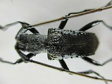 37176.Unmounted insects: Cerambycidae. New?. Ha Giang Vietnam