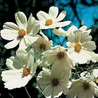 Cosmos- Purity White- 100 Seeds- BOGO 50% off SALE