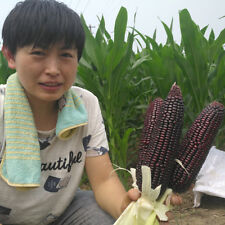 50 pcs purple black Waxy corn seeds
