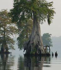Swamp Cypress! l'un des meilleurs Arbres Bonsai, Fresh seeds, vit 600+! SUPERBE!
