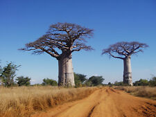 BAOBAB TREE African Adansonia Digitata Fantastic Natural Tree 15 Seeds