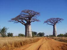 BAOBAB TREE African Adansonia Digitata Fantastic Natural Tree 15 Seeds