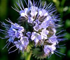 LACY PHACELIA Phacelia Tanacetifolia - 5,000 Bulk Seeds