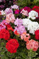 FLOWER GERANIUM F1 HORIZON MIX 10 FINEST SEEDS
