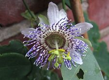 Passiflora elegans 10 seeds