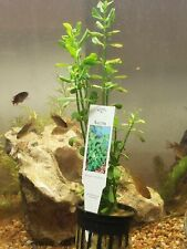 Potted Lemon Bacopa caroliniana Small Aquarium Plant