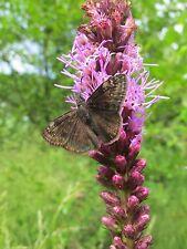 Liatris spicata| Gayfeather| Marsh Blazing Star| 20_Seeds FREE SHIPPING TO US