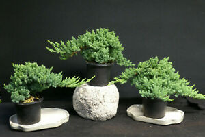 3   Dwarf Juniper Pre  Bonsai trees