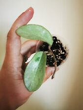 Hoya grey ghost rare rooted house plant waxplant