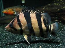 """Siamese Tiger Fish Live Fish TROPICAL AQUARIUM  Aquatics 1-2"""""""