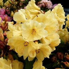 Rhododendron Golden Flare in 9cm pot deciduous azalea