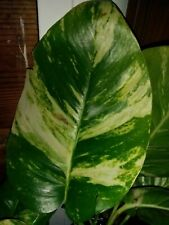 Florida Tropical Variegated Golden Pothos (Fresh Cutting) Not Albo Monstera