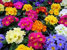 50 Mixed Colors English Primrose Primula Flower Seeds *Comb S/H & Free Gift