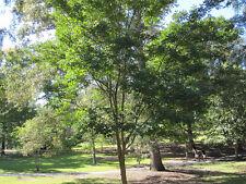 "Dalbergia hupeana ""Hardy Rosewood� Hardy to 0F- 10 seeds"