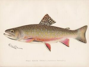 Original Antique Fish Print: Male Brook Trout by Sherman Foote Denton 1897