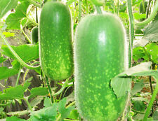 Wax Gourd Seeds 1 Pack 10 Seeds Benincass Hispide Delicious China Waxgourd B048
