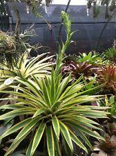 bromeliads for new year alcantarea 'aurora'