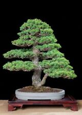 100 Japanese Black Pine Tree Seeds Pinus Viable Rare Bonsai Plants Potted Garden