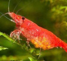 10+2 Red Cherry Shrimp + Free Hornwort Neocaridina davidi Live Freshwater Fish