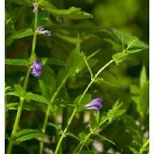 Wildflower Seeds - Skullcap - 50 Seeds