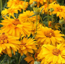 500 Dwarf Helenium Amarum Yellow Flower Seeds - Gift - Comb S/H