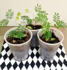 3 SILK MIMOSA TREE FRAGRANT PINK FLOWERS ALBIZIA  STARTER LIVE PLANTS