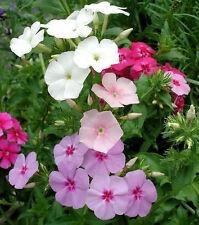 100 Mixed Drummond Phlox Drummondii Flower Seeds +Gift