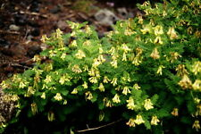 10 graines d' ASTRAGALE(Astragalus Membranaceus)HUANG QI H331 MILK VETCH SEEDS