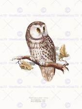 La PITTURA Birds Gould LEAR tengmalms GUFO 12x16'' art print poster lah555b