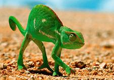 Chameleon - 3D Lenticular Postcard Greeting Card - Wildlife