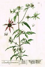 "Blackwell's Wild Flower - ""ACMELLA GERMANICA"" - H-Col. Copper Engraving - 1737"
